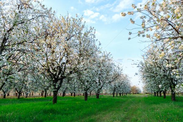 Cherry blossom Stock photo © Fesus