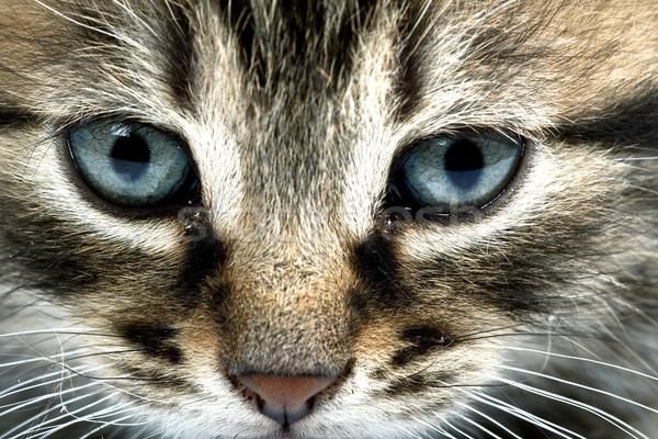 Little grey cat Stock photo © Fesus