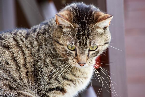 Cat portrait close up Stock photo © Fesus