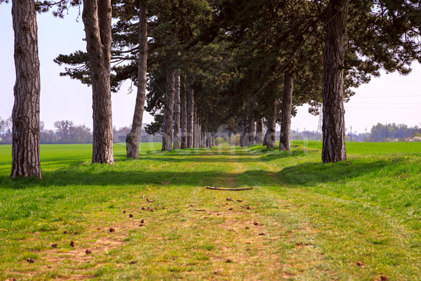 Stock photo: tree alley in summer with footpath