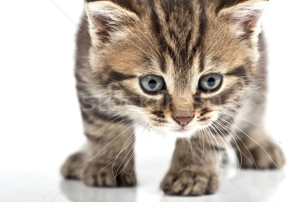 Mały szary kot twarz czarny funny Zdjęcia stock © Fesus