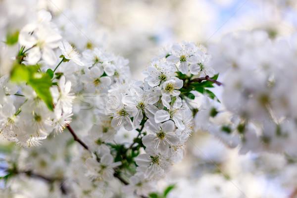Wiśniowe kwiaty wiosną oddziału niebo Zdjęcia stock © Fesus