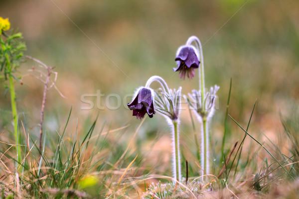 A group of Pulsatilla montana Stock photo © Fesus