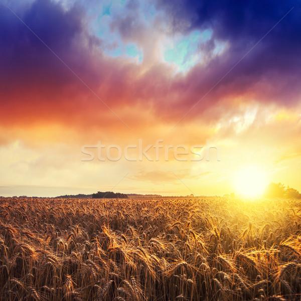 Magia amanecer campo de trigo verano Hungría alimentos Foto stock © Fesus