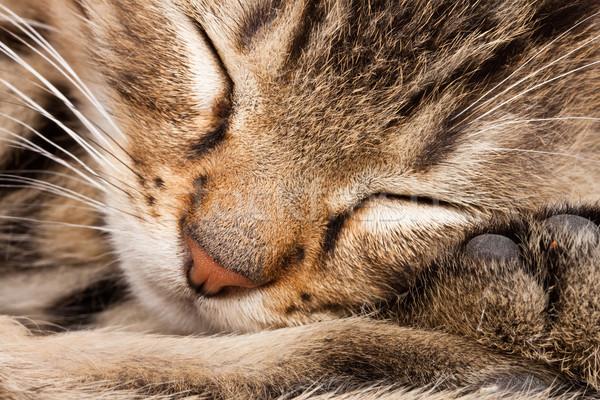 sleeping cat Stock photo © Fesus