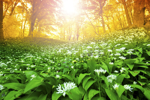 Wild garlic forest Stock photo © Fesus