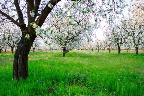 Cseresznyevirág gyönyörű virágzó cseresznye fák tavasz Stock fotó © Fesus