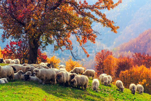 Moutons arbre automne paysage roumain nature Photo stock © Fesus