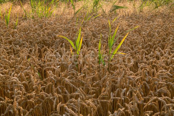 麦畑 準備 収穫 成長 ファーム フィールド ストックフォト © Fesus