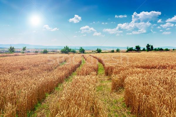 Pole pszenicy Błękitne niebo lata krajobraz brudne drogowego Zdjęcia stock © Fesus