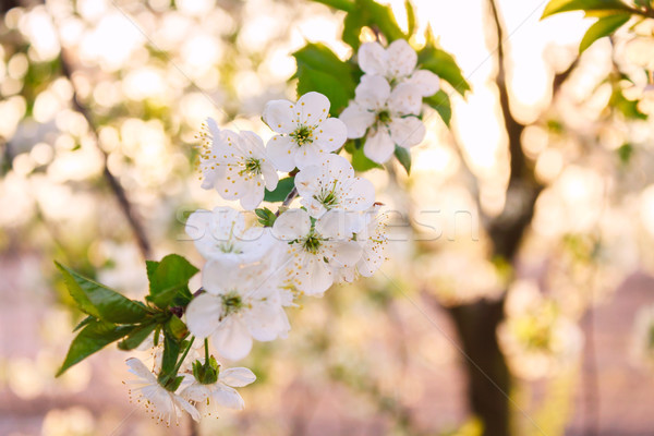 Flowers of the cherry blossoms on a spring day Stock photo © Fesus