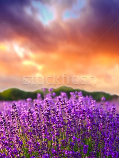 日没 夏 ラベンダー畑 風景 美 フィールド ストックフォト © Fesus