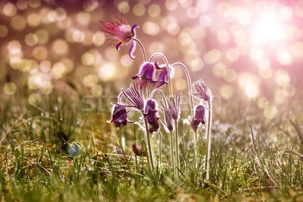 Spring flowers - 'Pulsatilla' Stock photo © Fesus