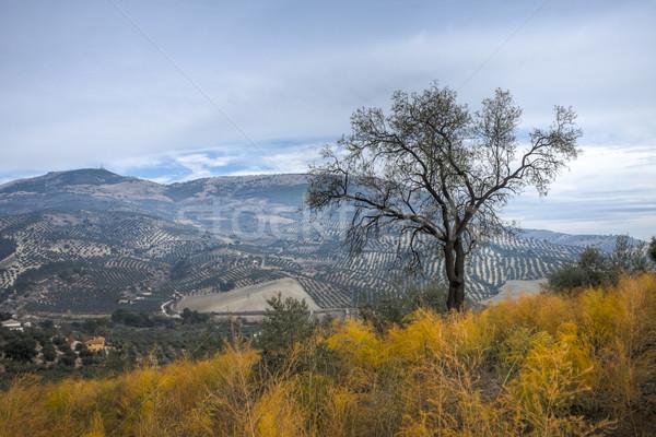 Olajfa vidéki táj Spanyolország fotó hdr égbolt Stock fotó © Fesus