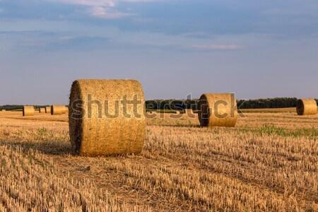 Campo de trigo campo completo heno sol naturaleza Foto stock © Fesus