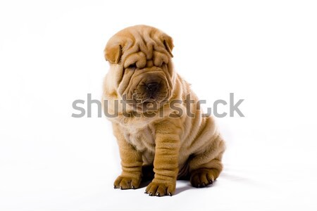 Sharpei chien fond groupe amusement portrait Photo stock © Fesus