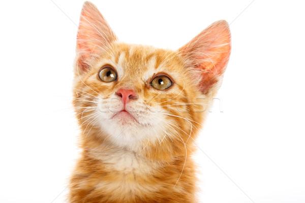Piros kicsi macska izolált háttér portré Stock fotó © Fesus