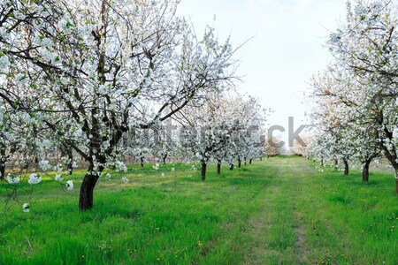 Cherry blossom Stock photo © Fesus