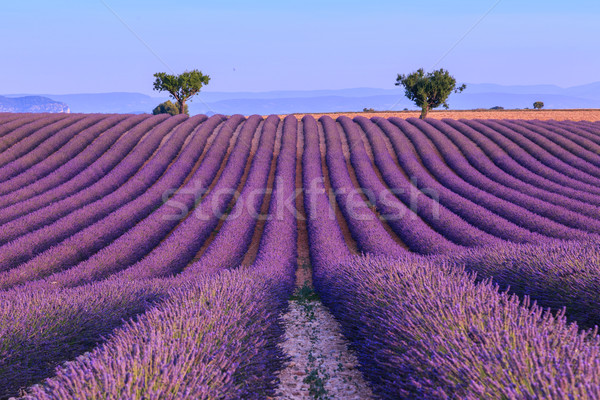 Lavender field in the summer-France Stock photo © Fesus