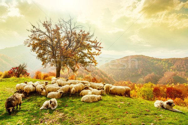 Sheep under the tree and dramatic sky Stock photo © Fesus