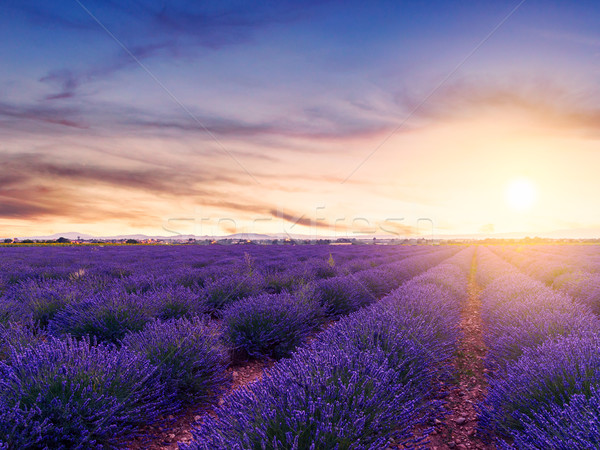 Sunset over a summer lavender field in Valensole Stock photo © Fesus