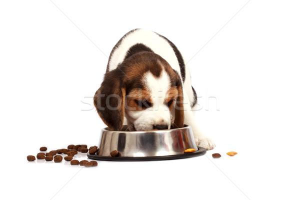 Kopó kutyakölyök kutya eszik fehér szomorú Stock fotó © Fesus