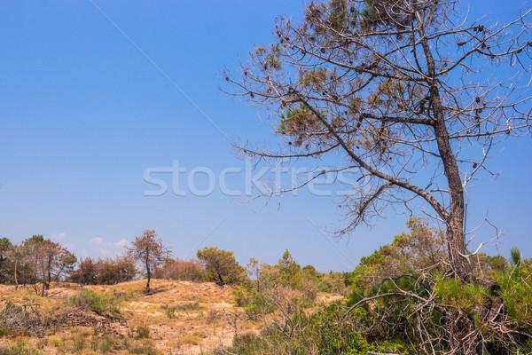 ツリー 夏 ザキントス 島 ギリシャ 花 ストックフォト © Fesus