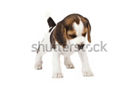 Beagle 15 mois blanche triste animaux Photo stock © Fesus