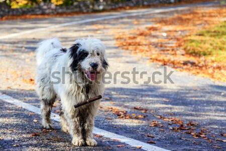 Kutyák őr birka hegy testtartás kutya Stock fotó © Fesus