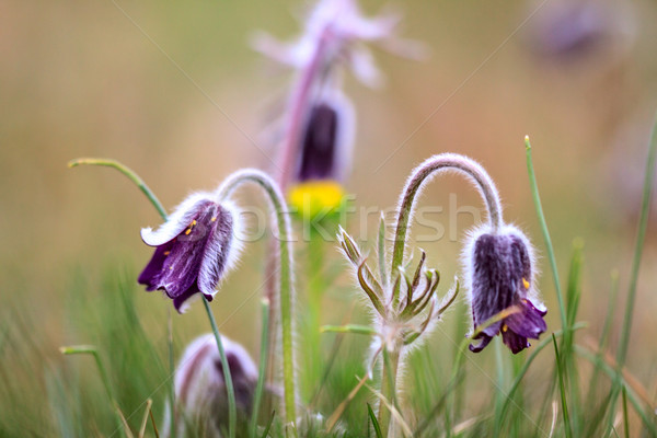 Csoport Montana virágzó tavasz legelő Magyarország Stock fotó © Fesus