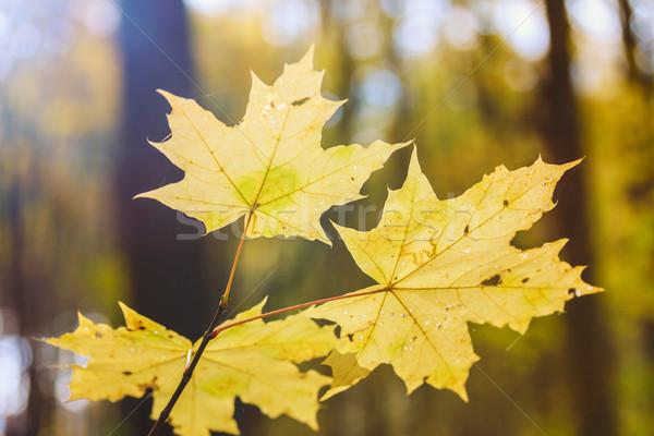 Hojas de otoño superficial enfoque árbol forestales resumen Foto stock © Fesus