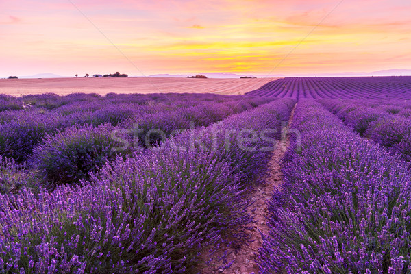Beautiful landscape of lavender fields at sunset in Provence Stock photo © Fesus