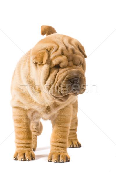 Sharpei köpek eğlence stüdyo profil arkadaş Stok fotoğraf © Fesus