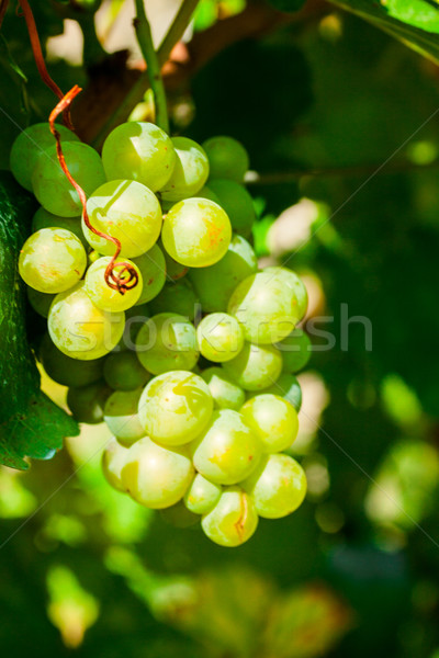 Closeup of bunches of green wine grapes on vine Stock photo © Fesus