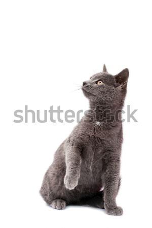 Piccolo grigio cat faccia occhi capelli Foto d'archivio © Fesus