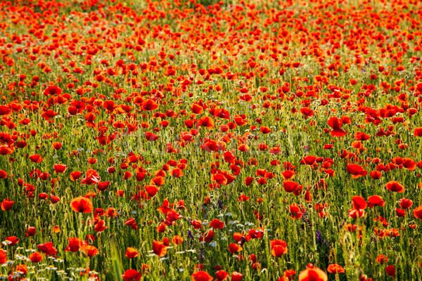 Maki dziedzinie łące lata Węgry wiosną Zdjęcia stock © Fesus