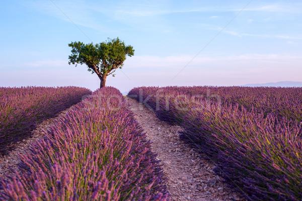 Lavendel veld zomer zonsondergang landschap boom natuur Stockfoto © Fesus