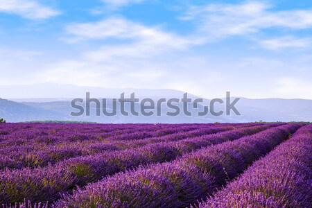 Lavender field summer near Sault. Stock photo © Fesus
