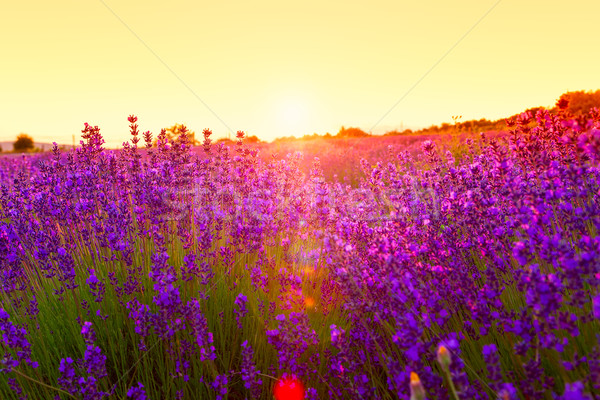 Foto stock: Campo · de · lavanda · Hungria · verão · flor · pôr · do · sol · natureza