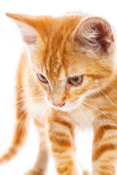 Piros kicsi macska izolált stúdiófelvétel háttér Stock fotó © Fesus