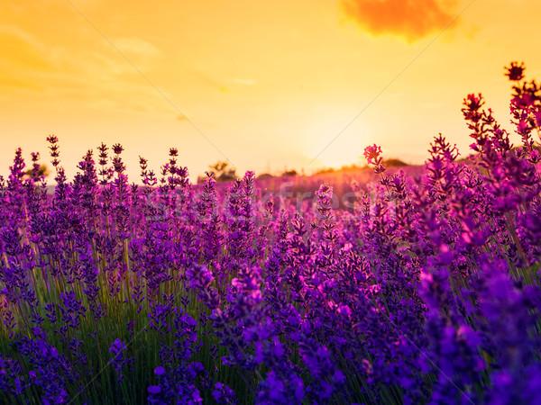 Campo de lavanda Hungria verão flor pôr do sol paisagem Foto stock © Fesus