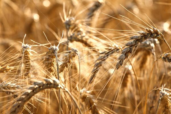麦畑 夏 準備 収穫 成長 ファーム ストックフォト © Fesus
