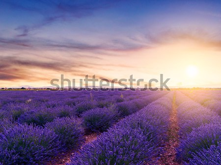 Lavender field summer sunset Stock photo © Fesus