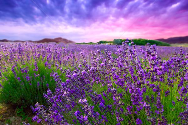 Zonsondergang zomer lavendel veld landschap schoonheid veld Stockfoto © Fesus