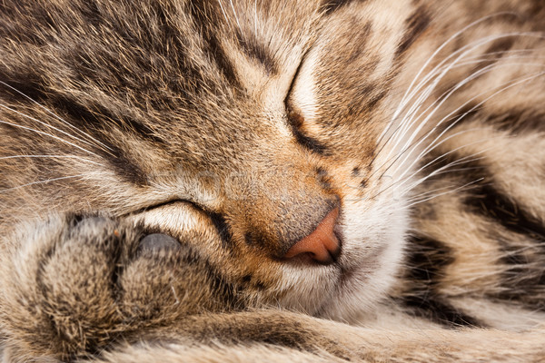 sleeping cat Stock photo © Fesus