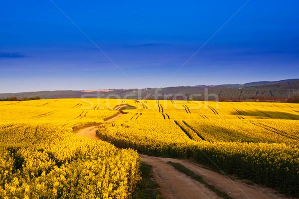 Way in rape field  Stock photo © Fesus