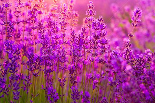 Champ de lavande Hongrie été fleur coucher du soleil paysage Photo stock © Fesus