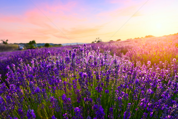 Sunset over a violet lavender field Stock photo © Fesus