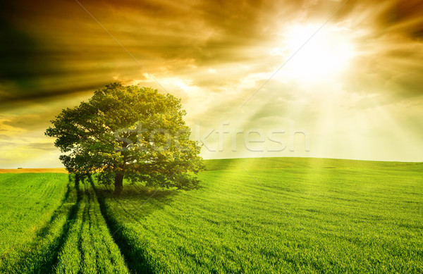 Stock photo: Lonely tree against  at sunset.