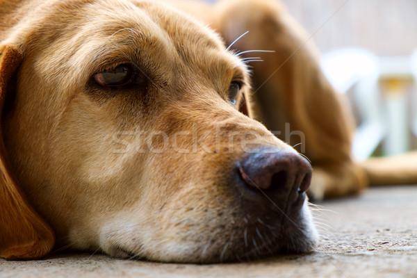 Geel labrador retriever outdoor selectieve aandacht ogen mond Stockfoto © Fesus
